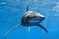 Oceanic Whitetip Shark - Deadalus Reef - Canon G7