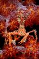 Bull crab (Naxioides taurus)