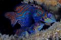 Mandarin Fish, On Sahara reef, Dumagete,Philippines.