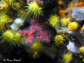 Little red coral (Corallium rubrum) into the epibenthic assemblages of a Mediterranean coralligenous reef in Portofino, Liguria, Italy.