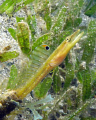 Yellow head pike blenny, St. Vincent.