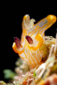 This is an undescribed Thecacera nudibranch species. I found it on one of the divesites here in Anilao.