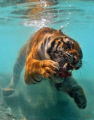 Ok, so I know its not a fish, but its amusing and its underwater!  One hungry Tiger going for a chunk of meat.