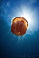 Red jellyfish heading into the sun.  Ningaloo Reef, Western Australia.  Canon 50D & Tokina 10-17 fisheye.