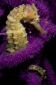 Seahorse in whipcoral, not the best camouflage.  Shot with an Oly 5060
