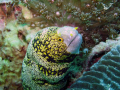Rare Snowflake Moray eel in the mussamdam