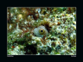 Bluebelly Blenny, taken with Canon G10 and Epoque strobe. Shooting these guys is like Underwater Whack-a-mole!