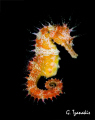 Sea horse.