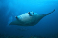 MANTA POINT - MALE ATOL - MALDIVES