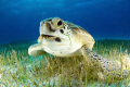 green sea turtle eating sea grass Cancun Mexico