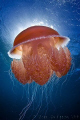 Red Jellyfish backlit by sun.  Ningaloo Reef, Western Australia.  Canon 50D & Tokina 10-17