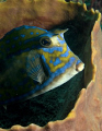 This Scrawled Cowfish was shot off of Jupiter Florida with an Olympus E-300 and Inon Z240 strobe.