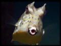 MOO - Cow Fish - You looking at me????