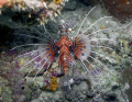A Spotfin Lionfish (Pterois antennata) At Magic Pasage near Madang, Papua New Guinea.