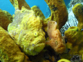 Frog fish - mating pair