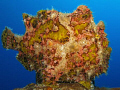 Frogfish on the Salem Express. Canon G9 with Ikelite DS51 strobe