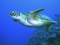 Turtle in the Coral Sea.