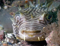 This stripped burrfish posed for his portrait at Blue Heron Bridge, Riviera Beach Florida.  Photo was taken with 50 mm macro with 1.4 extender and Inon Strobe.