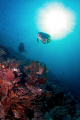 Bat fish - diver..in the morning