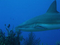 Caribbean Reef Shark off the coast of Belize at Silver Cave.
