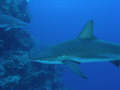 Caribbean Reef Sharks, off the coast of Belize at Silver Cave.