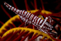 Shrimp on feather star - 105 + inon 165 closeup lens.
