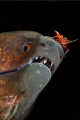 Hingebeak Shrimp balancing on the nose of a Moray. Nikon D300, 60mm Nikkor, Subal, Twin Inon's