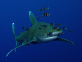 Oceanic Whitetip and pilot fish. Canon G9 with Ikelite strobe