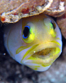 Yellow Head Jaw Fish with eggs. Sea and Sea DX1G / Stacked diopters / YS25 & YS100 strobes