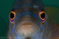 Male Cuckoo wrasse. Plymouth. D3, 60mm.