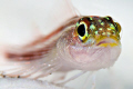 triplefin closeup / Canon 450D + 100mm Macro + Kenko 2x TC / no crop