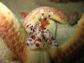 Dinner time !  Harlequin Shrimp  Oahu