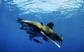 Carcharhinus Longimanus. Daedalus reef.