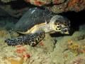 Hawksbill Turtle @ Patillas, PR