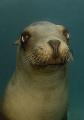 curios sea lion, D200
