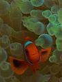 A Young Spine Cheek Anemone Fish in a Bubble Anemone Used Nikon D70s,60 mm Micro lense and SB 105 Strobe.
