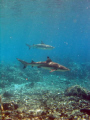 Black tip and silver tip in the Pass of Fakarava