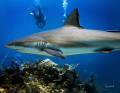 Reef shark taken at