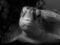 turtle...I think this portrait is better in B/W...;-)