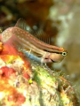 Red Sea Combtooth blenny taken at Sharksbay with Fuji f50 and fantasea nano strobe.