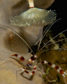 banded coral shrimp taking a shower under a feather duster.  Shot with D300 and 105mm lens.