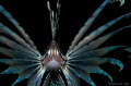 This lionfish was pretty funny. I didn't realy want to take his picture but he kept on following my and being pretty protective of his space. He's been around for a while but on this dive he made it real easy to take his portret.