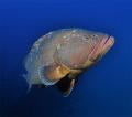 Giant grouper - Madeirense wreck. Nikon D90, Tokina 10/17.