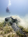 Turtle munching away on the sea grass at Marsa Shouna using natural light at 20m.