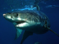 Great White Shark, Neptune Islands, Australia.