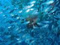 glass fish m 1030 sw