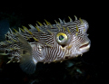 This striped burrfish was headed straight for me at Blue Heron Bridge.  As he got within photo shot of me he turned.