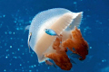 Mosaic Jellyfish with driftfish in the coral sea. Nikon D300 in Sea & Sea housing.