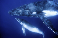 Closeup image of a humpback mother and calf. Vava'u Tonga. No cropping. Nikon D300 with 10-20mm sigma lens.