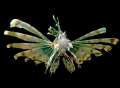 Pterois miles